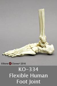 Human Foot Joint
