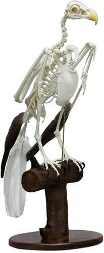 Bald Eagle Skeleton