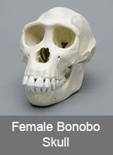 Female Bonobo Skull
