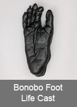 Bonobo Foot Life Cast