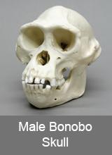 Male Bonobo Skull