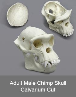Adult Male Chimp Skull Calvarium Cut