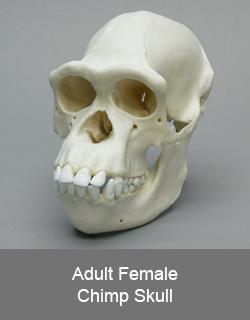 Adult Female Chimp Skull