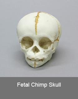 Fetal Chimp Skull