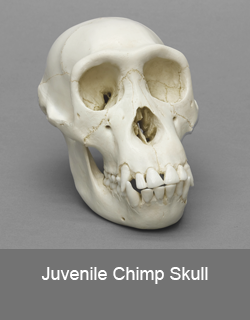 Juvenile Chimp Skull