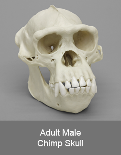 Adult Male Chimp Skull