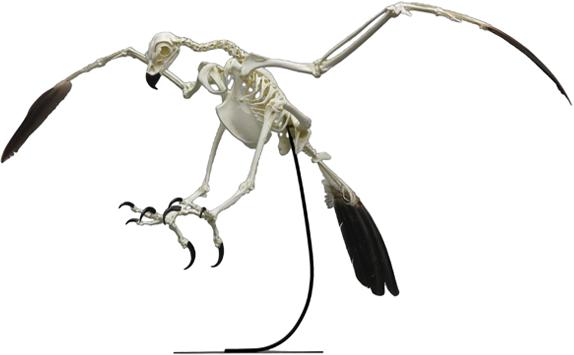 Golden Eagle Skeleton