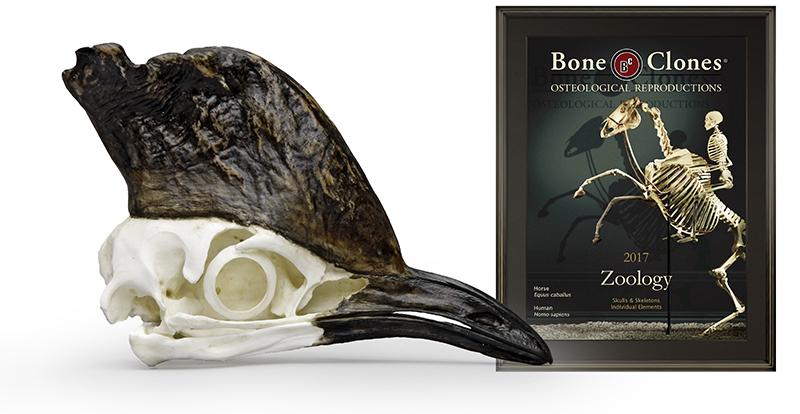 Cassowary Skull