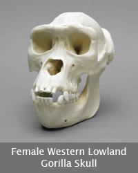 Female Western Lowland Gorilla Skull