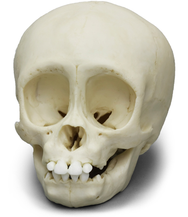 Infant Gorilla Skull