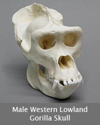 Male Western Lowland Gorilla Skull
