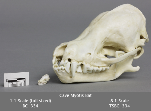 Cave Myotis Bat Skull
