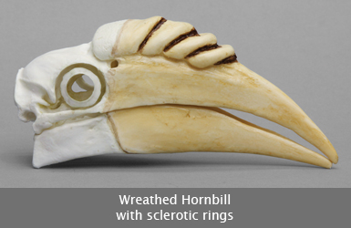 Wreathed Hornbill Skull with Rings