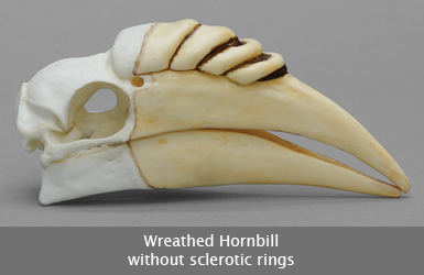 Wreathed Hornbill Skull without Rings