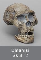 Dmanisi Skull 2