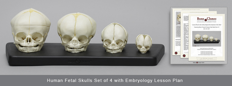 Human Fetal Skulls Set of 4