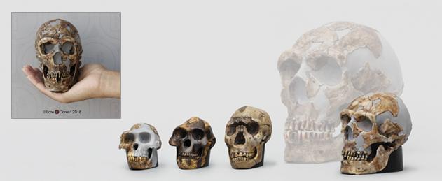 Half Scale Hominid Skulls