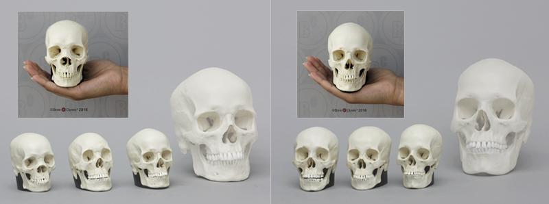 Half Scale Human Skulls