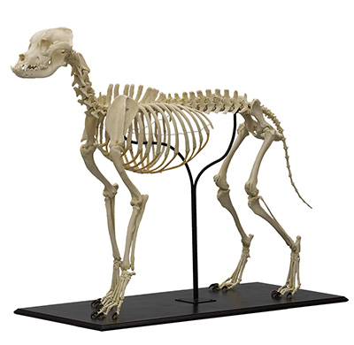 Bullmastiff Dog Skeleton
