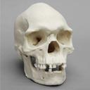 Male Aborigine Skull