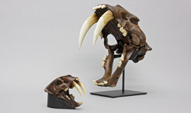 Sabertooth Cat Skulls