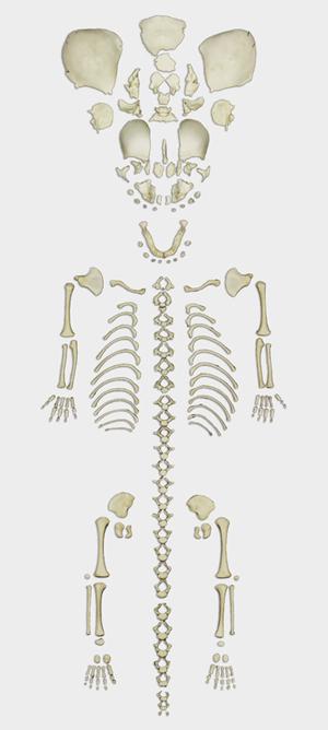 Fetal Skeleton