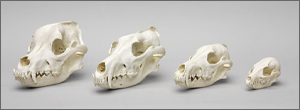 Canid Comparison Economy Skull Set