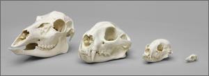Dietary Comparison Economy Skull Set