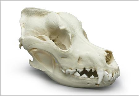 Great Dane Skull