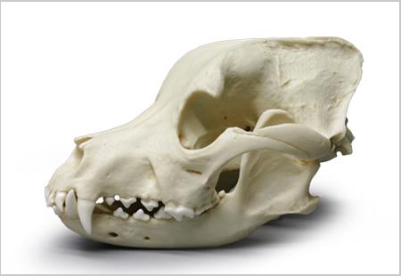Pit Bull Dog Skull