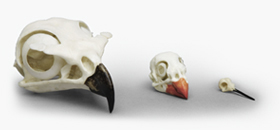 Comparative Bird Skull Set of 3
