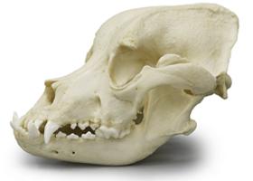 Bullmastiff Dog Skull