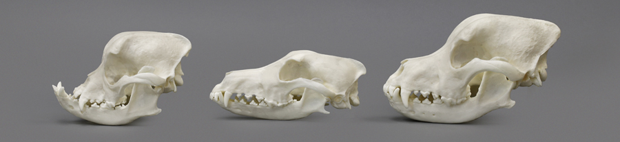 Domestic Dog Comparison Economy Skull Set