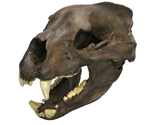 Short-faced Bear Skull
