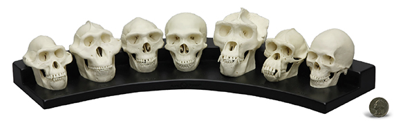 Half Scale Primate Skull Set