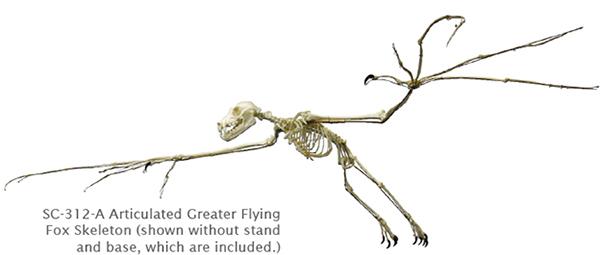 Flying Fox Skeleton