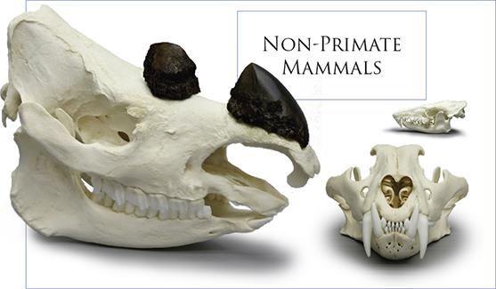 Non-primate Mammals