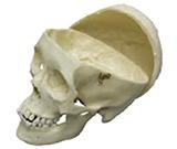 Human Adolescent Skull