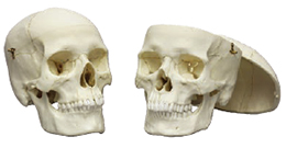 Human Female & Male Calvarium Cut Skulls