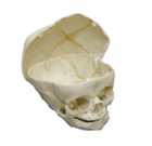 Human Fetal Skull, 40 Weeks