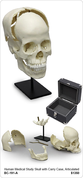 Human Medical Study Skull, Articulated