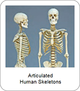 Articulated Human Skeletons