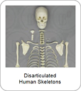 Disarticulated Human Skeletons