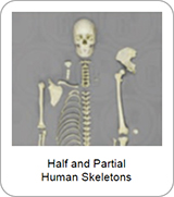 Half and Partial Human Skeletons