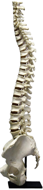 Flexible Adult Human Female Vertebral Column with Pelvis