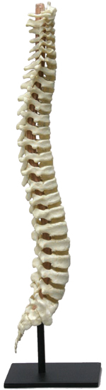 Flexible Human Child Vertebral Column