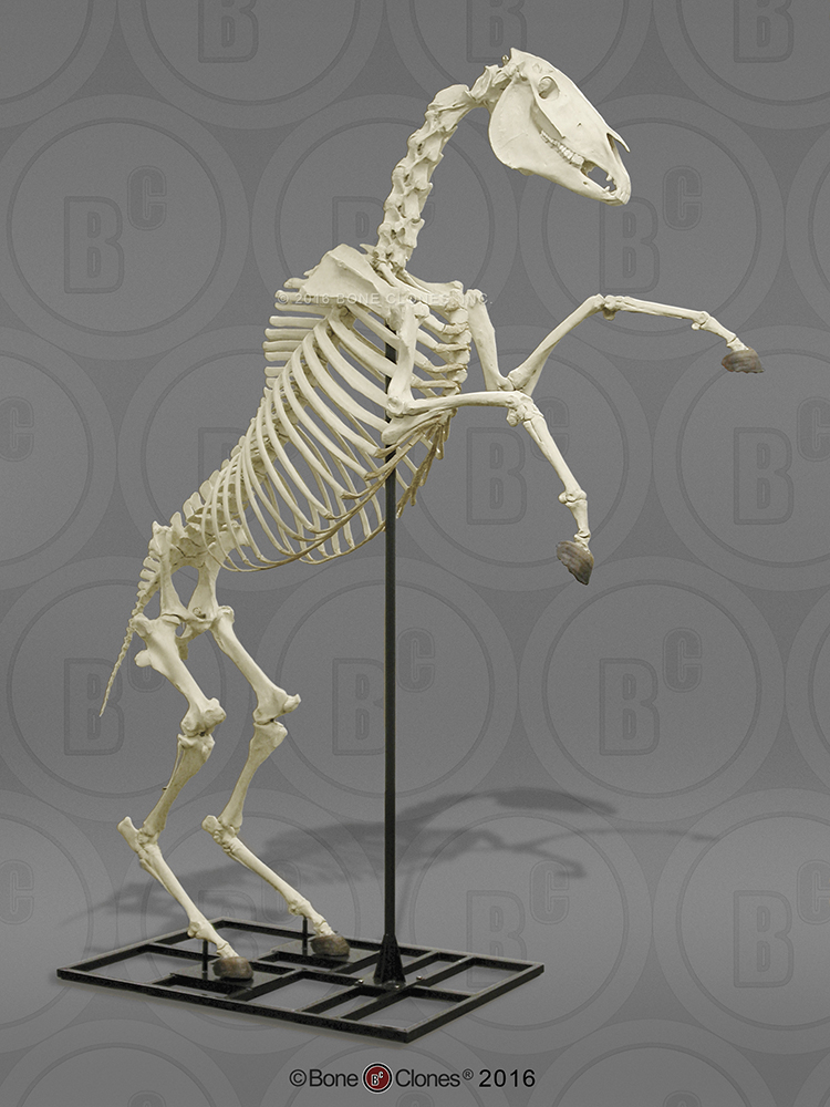 List of Synonyms and Antonyms of the Word: horse skeleton